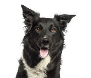 Border collie panting, looking away, isolated Royalty Free Stock Image
