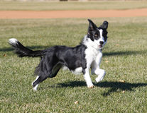 Border collie at the park Royalty Free Stock Photos