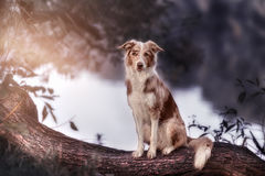 Border collie in the Park royalty free stock photos