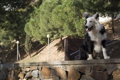 Border collie in the park Stock Photography