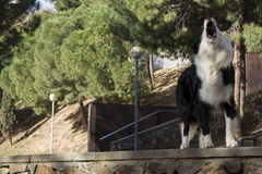 Border collie in the park Stock Images
