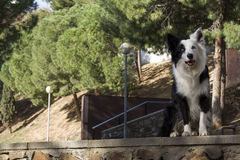 Border collie in the park Royalty Free Stock Images