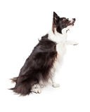 Border Collie Paw Shake Royalty Free Stock Images