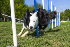 Border Collie performing the sport of Agility stock image