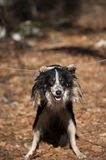 Border collie performing to be a monkey - hanging Stock Photo
