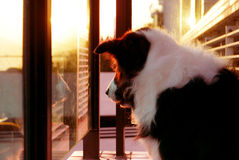 Border Collie pet dog at sunset Royalty Free Stock Photography