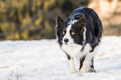 Border Collie. A photo of a border collie on the snow while he`s looking at sheeps stock images