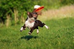 Border collie pies łapie latającego dyska obraz stock