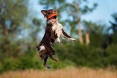 Border collie pies łapie latającego dyska zdjęcie stock