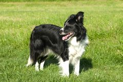 Border collie pies na trawie Fotografia Royalty Free