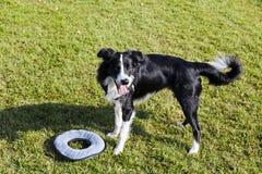 Border Collie pies z zwierzę domowe zabawką na gazonie Zdjęcia Royalty Free