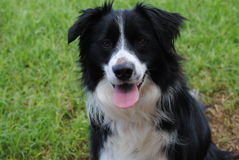 Border Collie with pink tounge and green background Stock Photography