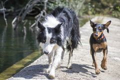 Border collie and pinscher in nature. Border collie and pinscher running in the nature, forest and river. This shot was taken in suummer near a river in Spain Stock Image