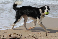 Border Collie Playing on Beach royalty free stock photography