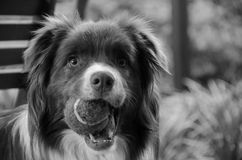 Border Collie playing Royalty Free Stock Images