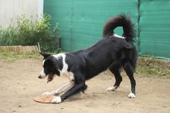 Border collie playing in the garden. With his game, animals and outdoor activities stock photography