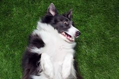 Border collie playing outside on the grass. Happy border collie playing outside on the grass Royalty Free Stock Photography