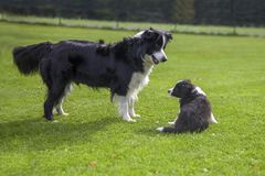 border collie playing with puppy royalty free stock photography