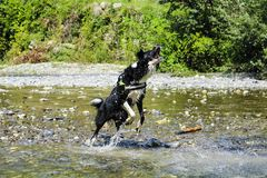 Border collie playing at the river, animal and nature. Border collie playing with splashes of water at the river, Liguria, animal and nature royalty free stock photos