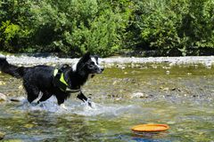 Border collie playing at the river, animal and nature. Border collie playing with splashes of water at the river, Liguria, animal and nature royalty free stock photo