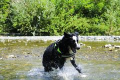 Border collie playing at the river, animal and nature. Border collie playing with splashes of water at the river, Liguria, animal and nature stock photo
