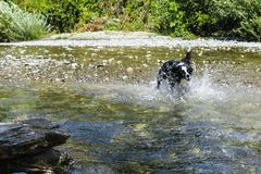 Border collie playing at the river, animal and nature. Border collie playing with splashes of water at the river, Liguria, animal and nature royalty free stock image