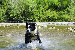 Border collie playing at the river, animal and nature. Border collie playing with splashes of water at the river, Liguria, animal and nature royalty free stock images