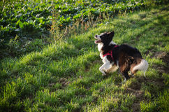 Border collie playing Royalty Free Stock Image