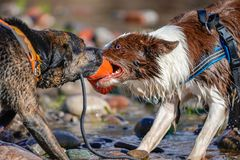 Two Dogs Playing Tug in Water stock photos