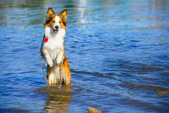 Border collie playing in the water Stock Image