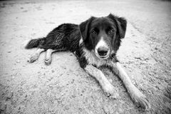 Border Collie po kąpać się Fotografia Stock
