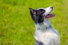 Border collie-Porträt im Gras Lizenzfreies Stockbild