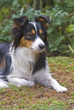 Border Collie Portrait Royalty Free Stock Image