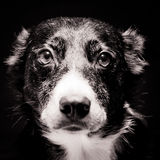 Border Collie Portrait Stock Photography
