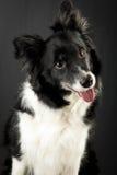 Border Collie Portrait Stock Photos