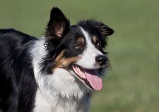 Border collie portrait Stock Images