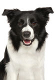 Border Collie portrait. Close-up of Border Collie. Portrait isolated on white background royalty free stock image