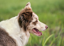 Border collie portrait Royalty Free Stock Photography