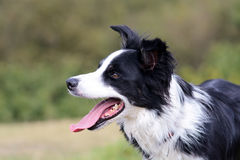 Border collie portrait Royalty Free Stock Images