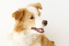 Border Collie. Portrait of a gold and white border collie stock image