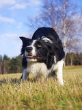 Border Collie Royalty Free Stock Images