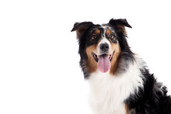 Border collie portrait. Happy dog photographed in the studio on a white background royalty free stock images