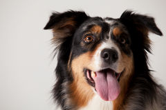 Border collie portrait. Happy dog photographed in the studio on a white background stock images