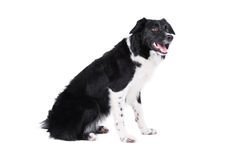 Border collie portrait, isolated on the white Stock Photo