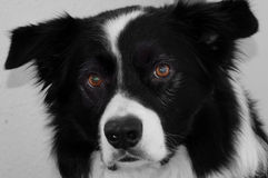 Border collie. Portrait of a border-collie, the smartest dog in the world Royalty Free Stock Photos