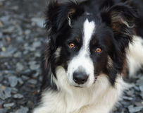 Border collie portret Stock Photography
