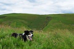 Border collie preto e branco bonito que coloca na grama longa fotos de stock royalty free