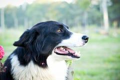 Border Collie psi ono uśmiecha się obok kwiatów Obrazy Royalty Free