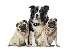 Border collie and pugs with scarfs sitting, isolated Royalty Free Stock Photos
