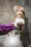 Border collie pulling the toy Stock Images